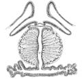 Origin of Vertebrates Fig 086.png