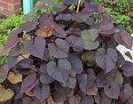 "An ornamental sweet potato of the ""Ace of Spades"" cultivar"