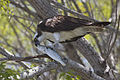 Osprey (Pandion haliaetus) & Spotted Seatrout (9735967141).jpg
