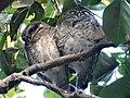 Owl couple.jpg