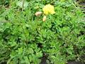 Oxalis pes-caprae var pleniflora (Habitus).jpg