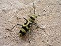 P1010521 Chlorophorus varius celek.jpg