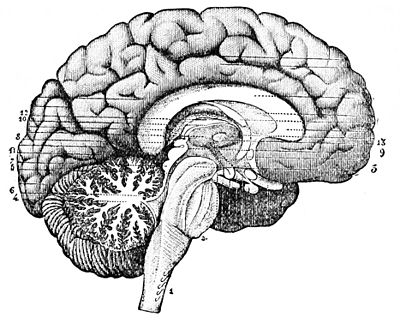 PSM V26 D764 Longitudinal section through the center of the brain.jpg