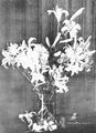 PSM V51 D368 Washington lilies.png