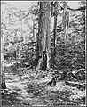 PSM V84 D567 Chestnut tree near the trail of buck spring lodge.jpg