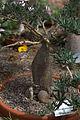 Pachypodium succulentum GotBot 2015 002.jpg