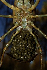 Vajíčka na spodnej strane bruška samičky raka