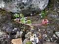 Padjelanta - Ranunculus glacialis 5.jpg