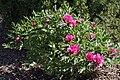 Paeonia suffruticosa prg1.jpg