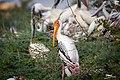 Painted Stork - a Furtive Look (46420971161).jpg