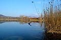 Palatinus-tó nádas.jpg