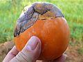 Palmyra Palm Fruit (Borassus aethiopum) (7083091517).jpg