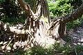 Pandanus - Hat Head National Park by beach.jpg