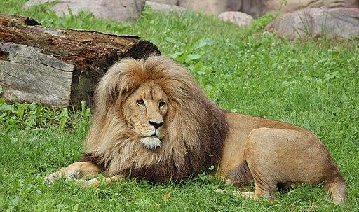 Panthera leo bleyenberghi 2013