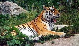 Fauna of Asia - Image: Panthera tigris altaica 001