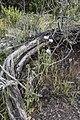 Papaver setigerum, Sainte-Lucie Island.jpg