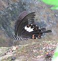 Papilio helenus Linnaeus, 1758 – Red Helen at Kottiyoor Wildlife Sanctuary (6).jpg