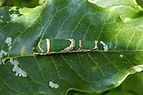 Papilio liomedon (caterpillar) 2319.jpg