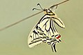 Papilio machaon 02 04102009.jpg