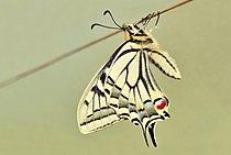Papilio machaon 02 04102009.jpg