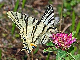 Scarce swallowtail - Underside