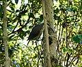 Paradise Riflebird (32334261106).jpg