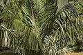 Parajubaea torallyi CFGs395.jpg