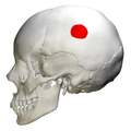 Parietal eminence - skull - lateral view.png