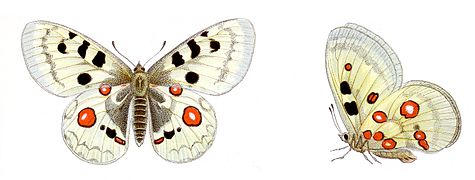 Parnassius apollo - Roter Apollo.jpg