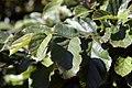 Parrotia persica 0zz.jpg