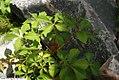 Parthenocissus quinquefolia 4zz.jpg