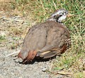 Partridge on the road - geograph.org.uk - 561119.jpg