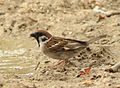 Passer montanus (Madrid, Spain) 002.jpg