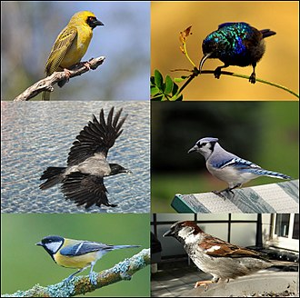Passerine - Clockwise from top right: Palestine sunbird (Cinnyris osea), blue jay (Cyanocitta cristata), house sparrow (Passer domesticus), great tit (Parus major), hooded crow (Corvus cornix), southern masked weaver (Ploceus velatus)