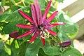 Passiflora Pura Vida 1zz.jpg