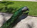 Pavão no Parque Marechal Carmona em Cascais (37092355956).jpg