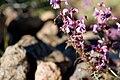 Pedicularis chamissonis var. japonica 15.jpg