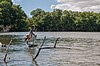 Pelican in mangroves of the Restinga Lagoon 2.jpg