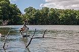 Pelican in mangroves of the Restinga Lagoon 2.jpg