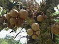 Penang Botanic Gardens (17).JPG