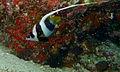 Pennant Coralfish (Heniochus acuminatus) (8506718521).jpg