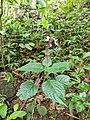 Perilla frutescens 36.jpg