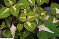 Perilla frutescens Magilla 1zz.jpg