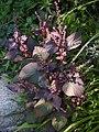 Perilla frutescens var. acuta.JPG