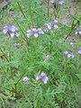 Phacelia tanacetifolia01.jpg
