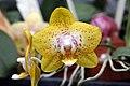 Phalaenopsis Brother Pepride x Phalaenopsis (Kelsie Takasaki x Brother Lawrence) 0zz.jpg