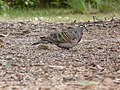 Phaps chalcoptera -Merimbula, New South Wales, Australia-8 (1).jpg