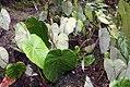 Philodendron grandipes 6zz.jpg