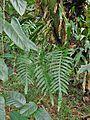 Phlebodium aureum(Polypodiaceae).jpg