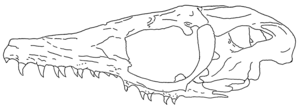 Phosphorosaurus - Illustration of HMG-1528, the holotype skull of P. ponpetelegans.